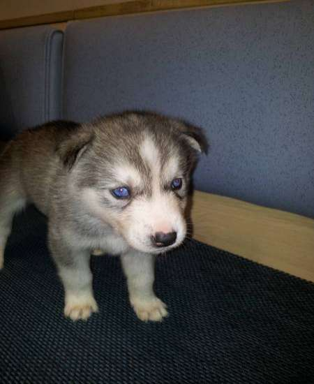 Siberian Husky Pupps For Sale Some With Blue Eyes