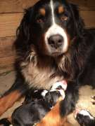 bernese mountaing dog puppies
