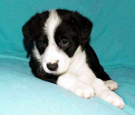 male and female border collie puppies for sale