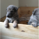 Awesome German sheperd puppies for sale