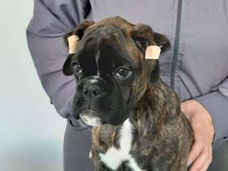 German boxer, puppies of exhibition potential