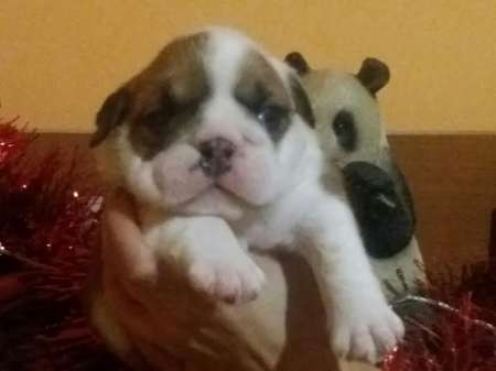 English bulldog, top litter