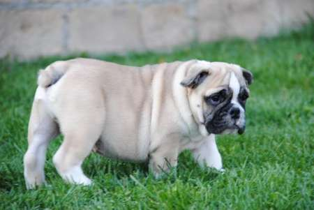 English bulldog beautiful puppies