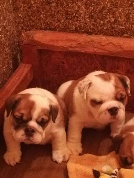 Beautiful puppies of the English Bulldog