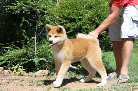 Akita inu, of excellent quality