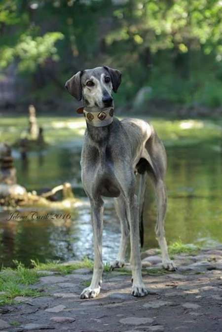Litter of Sloughi - Arabian Greyhound