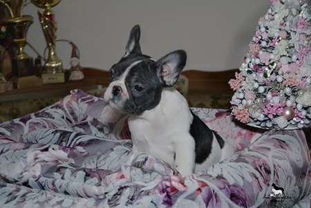 French bulldog, top quality puppies