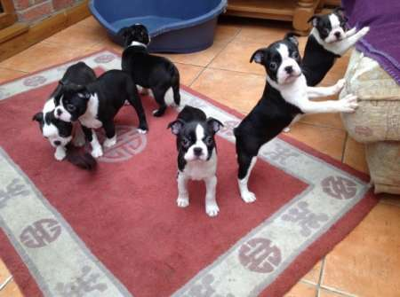 Beautiful Boston terrier Pups