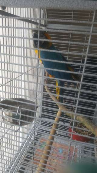 *+*PBFD & DNA Tested*+*Blue & Gold*+*Macaw Parrots*+*Available