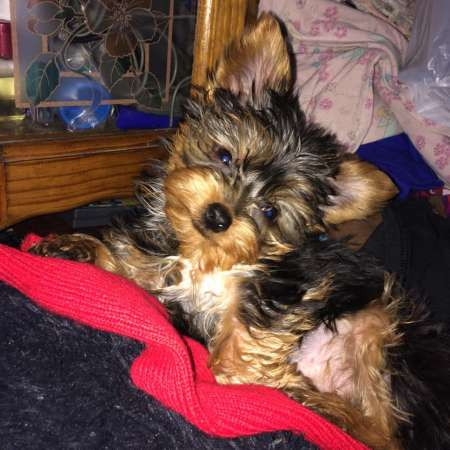 ADORABLE FEMALE YORKIE PUPPY NEED LOVELY HOME**