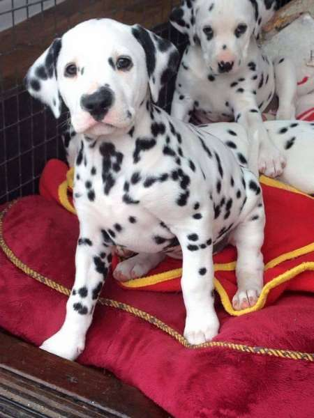 Registered Dalmatian Puppies