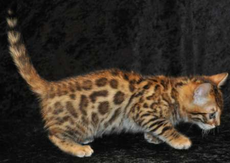 I have 2 beautiful savannah kittens ready to go to new homes