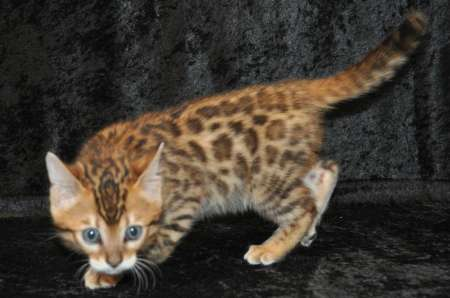 BEAUTIFUL BENGAL KITTENS FOR ADOPTION