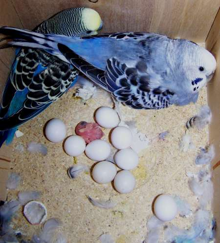 macaws and amazon eggs ready..