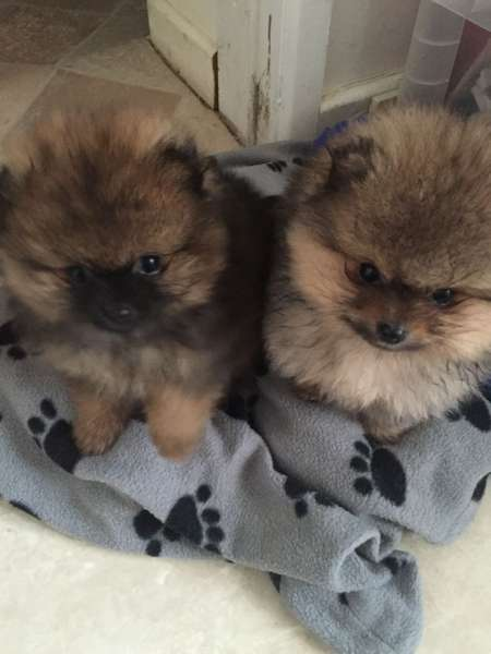 Extra Charming! Baby Doll! pomerian Puppies For Adoption