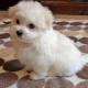 12 wks brown and white*__*Maltese