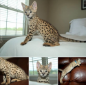 TICA registered F1 Savannah Kittens Available For Sale
