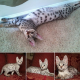 Healthy F1 Savannah and serval Kittens For Sale