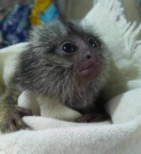 Healthy Finger Male and Female Baby Marmoset Monkeys
