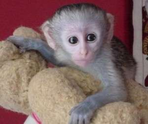 Quality Capuchin Monkeys For Adoption