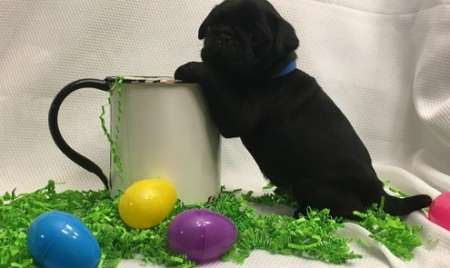 Black Pug Puppies Available for sale