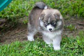 Pomsky puppies ( +18329058156  ) .