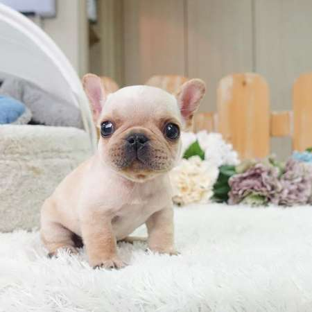 adorable french bulldogs