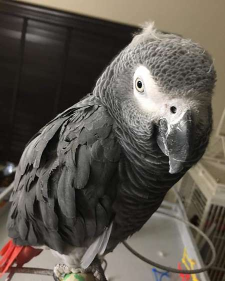 I need to rehome my young AFRICAN GREY parrot