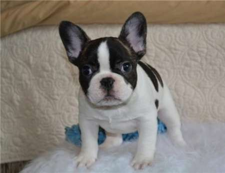 Young purebred French Bulldog Puppies for sale