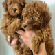 PURE POODLE PUPPIES FOR ADOPTION