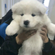 Purebred Samoyed puppies