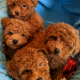 Gorgeous Red Poodle Puppies