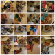 Pedigree Sable T cup Pomeranian Puppies