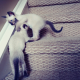 BESTY Seal Point Siamese Kittens
