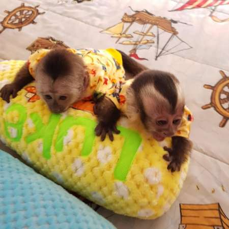 Cute Home Trained Baby Face Capuchin Monkeys Available For Adoption.