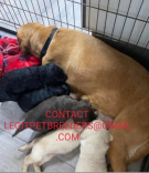 LABRADOODLE   PUPPIES FOR A GOOD HOME