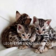 BENGAL KITTENS FOR A GOOD HOME