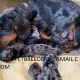 ADORABLE   DASCHUND PUPPIES FOR SALE NOW