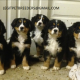 BERNESE MOUNTAIN PUPPIES AVAILABLE LOVELY AND BEAUTIFULL