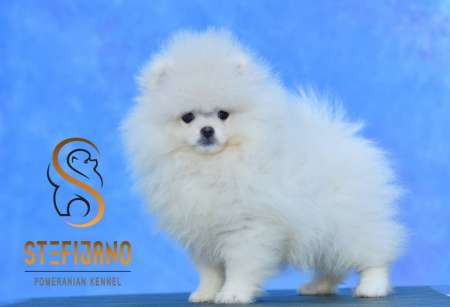 Superior female puppy POMERANIAN