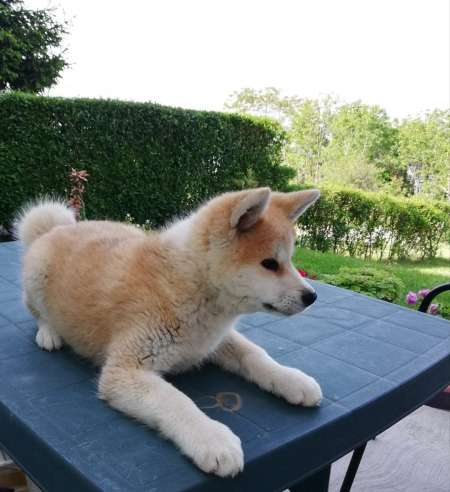 Akita Inu, a female puppy of great origin