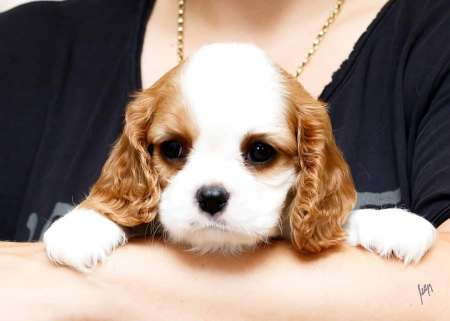Cavalier king charles spaniel, puppies of exhibition quality.