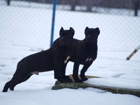 Cane corso puppies of superior bloodline
