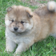 chow chow puppies for rehoming now